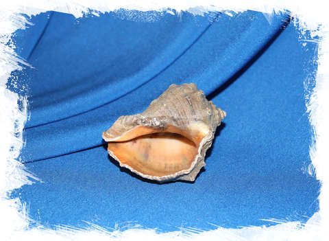 Ракушка Рапана 6 - 7,5 см.