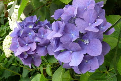 Гортензия крупнолистовая  (цветёт всё лето) Романс Блю