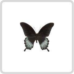 Papilio Polytes – Папирусник Политес