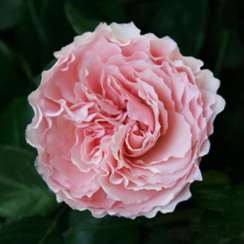 Розы пионовидные Mayra's Rose от 9шт