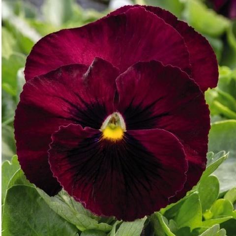 Виола виттрока Inspire DeluXXe F1, deep rose blotch