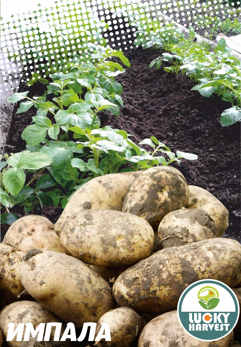 Семенной картофель ИМПАЛА ТМ LUCKY HARVEST (Украина)
