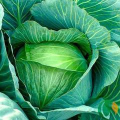 Семена капусты белокочанной Леннокс F1, Bejo, 15 шт.