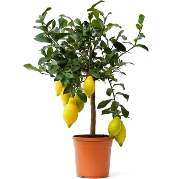 Цитрофортунелла Лимон штамб D19 H65