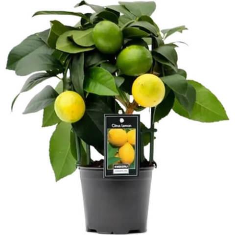 Цитрофортунелла Лимон на решетке D12 H30