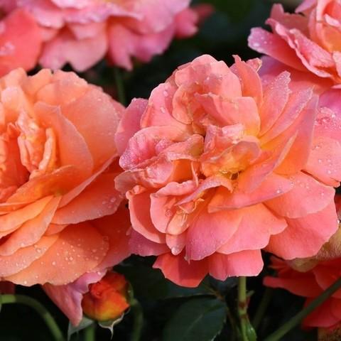 Роза флорибунда Монинг Сан/Испания С3