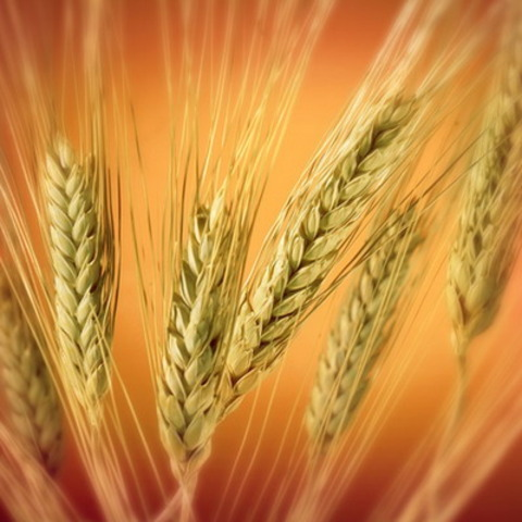 Масло зародышей пшеницы (рафинированное)