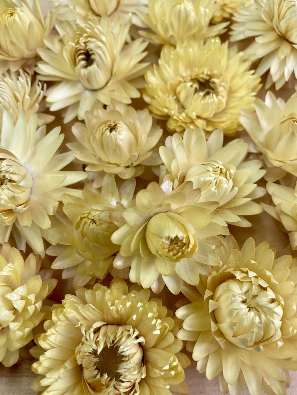 Гелихризум светло-желтый