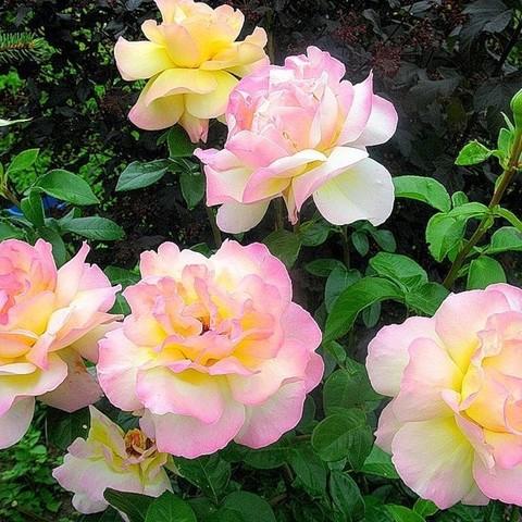 Роза чайно-гибридная Глория Дей С3