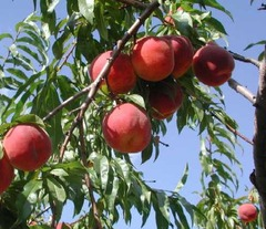 Персиковое масло (рафинированное)