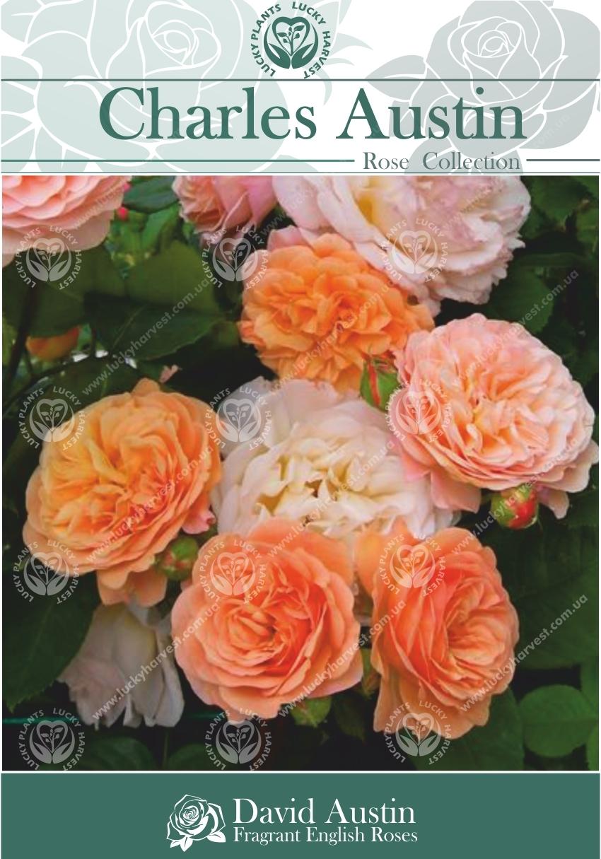 Троянда Англійська Багатоквіткова Махрова