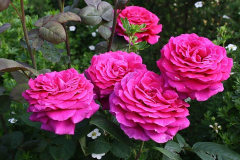 Роза чайно-гибридная Биг Пёпл (в тубе)