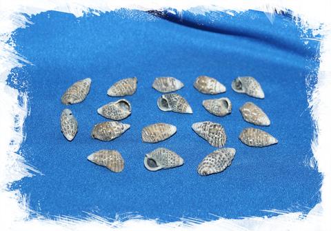 Церитиум Петросум (Пондок)