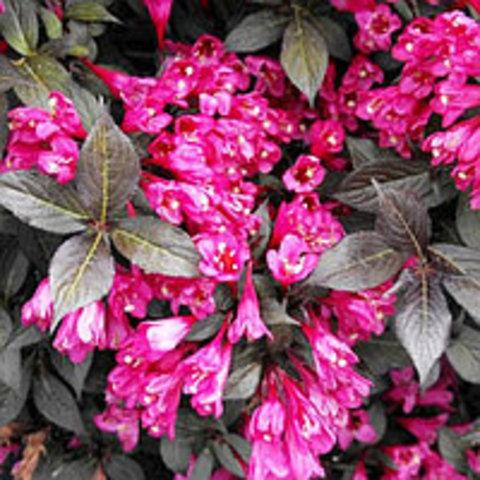 Вейгела цветущая Минор Блэк C2 20-40