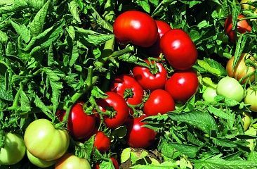 Томат Импала F1 семена томата детерминантного (Vilmorin / Вильморин) ИМПАЛА_F1_семена_овощей_оптом.jpg