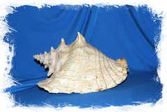 Купить морскую раковину Стромбус Гигас