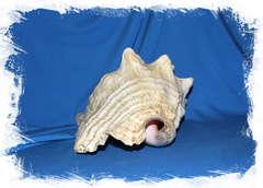 Стромбус Гигас (Lobatus gigas) 26 см. коллекц.
