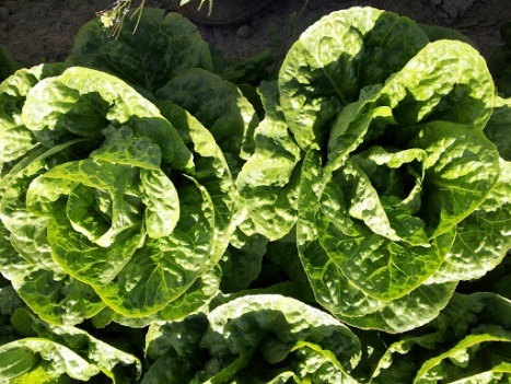 Салат Асаф семена салата айсберг (Hazera / Хазера) Ассаф.jpg