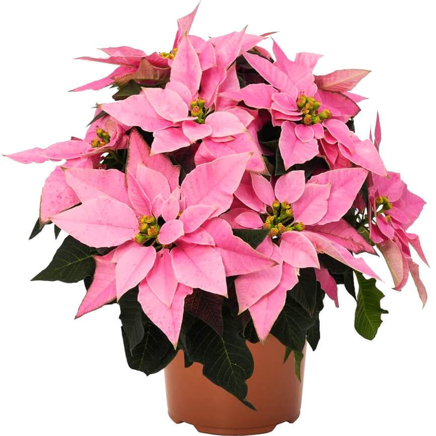 Пуансеттия Браво розовая D12