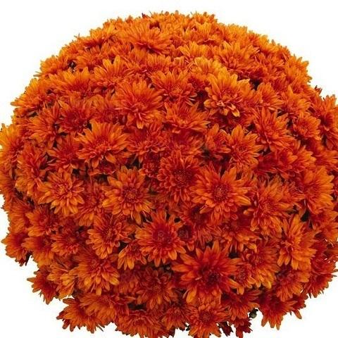 Хризантема мультифлора Goal Orange