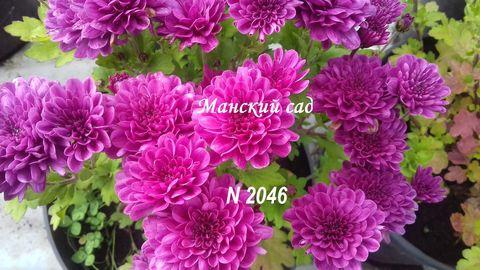 Хризантема мультифлора   N 2046