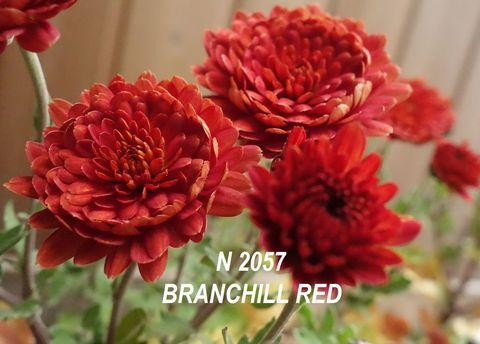 Хризантема мультифлора (шаровидная) Branchill Red №2057