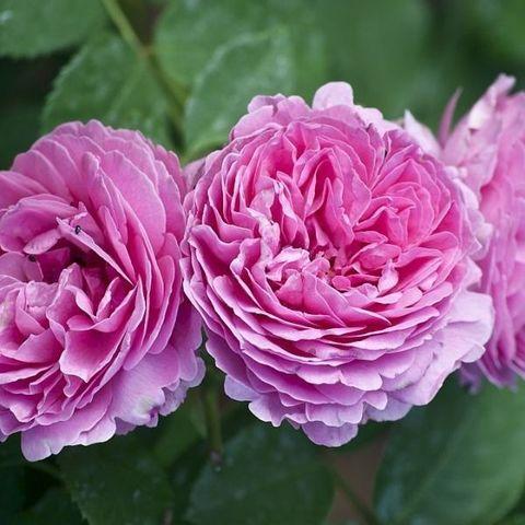 Роза парковая и Альпийская Луиз Одье С6