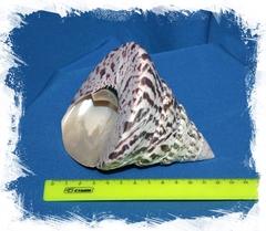 Нильский трохус 8-11 см