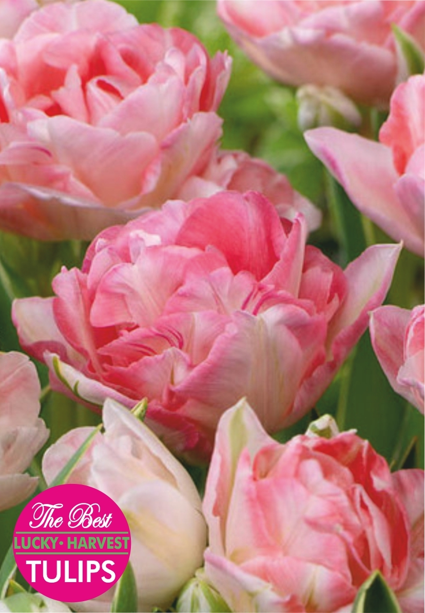 Тюльпан Махровые позднецветущие Double Sugar (Дабл Шугар) Украина 5 шт