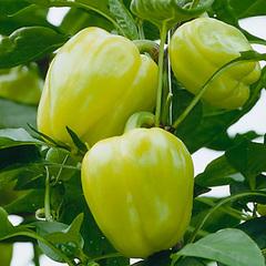 Блонди F1 семена перца сладкого (Syngenta / Сингента)