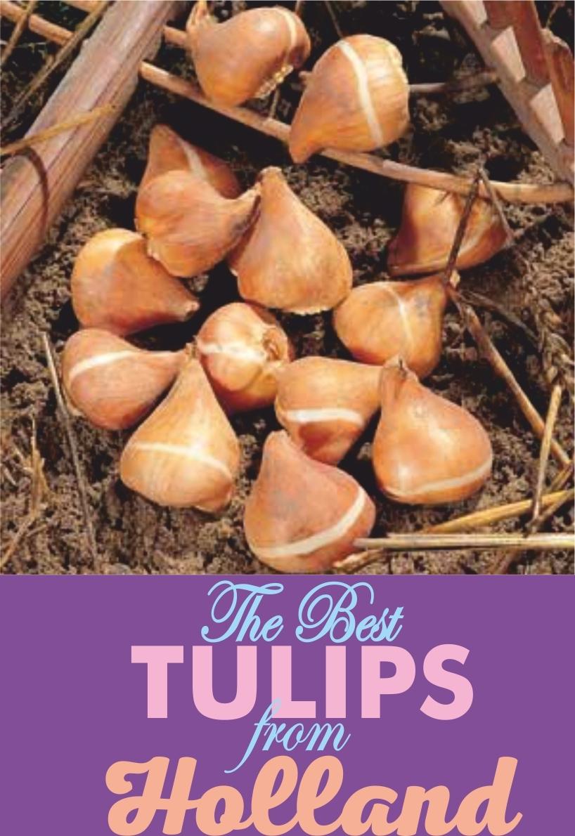 Луковицы Тюльпана Бахромчатого раннего Crystal Star (Кристалл  Стар) TM Jan de Wit en Zonen B.V. (количество в упаковке 3 луковицы)