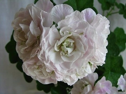 Пеларгония Ice Rose