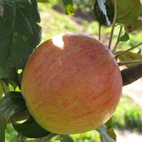 Яблоня зимний сорт Медуница