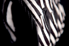 Мотоперчатки - ICON 1000 CATWALK ZEBRA (женские)
