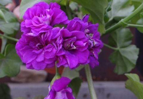 Пеларгония Purple Prince