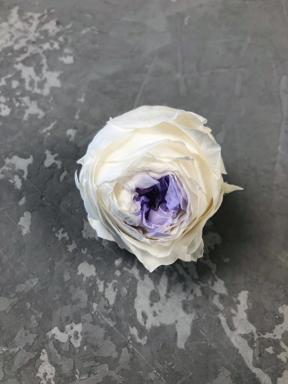 Роза пионовидная бело-фиолетовая d=5 см