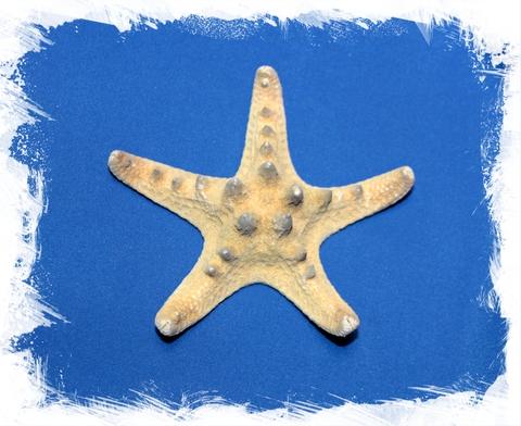 Морская звезда для декора 10 - 12,5 см