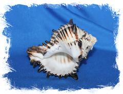 Ракушка Hexaplex nigritus