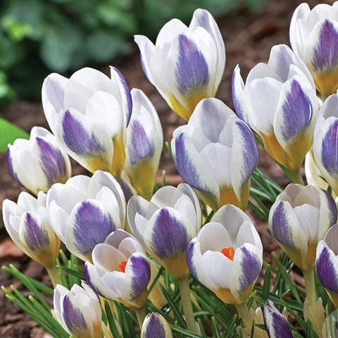 Крокус ботанический ранний Блу Бёрд, Блю Бёрд. Blue Bird (10 шт.в упаковке)_sadguru