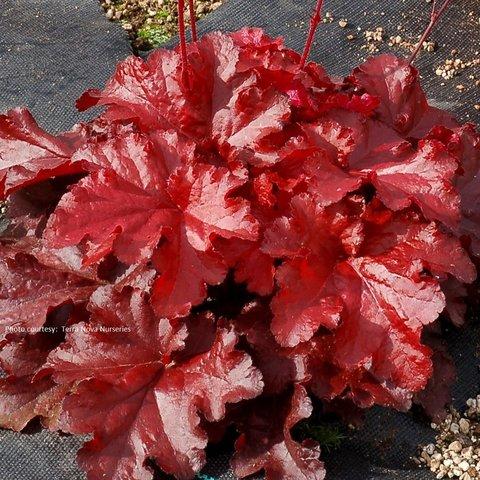 Ярко-красная солнцестойкая гейхера