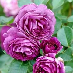 Роза флорибунда Минерва купить