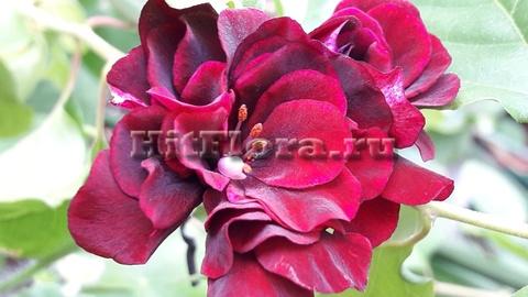 Пеларгония Royal Black Rose
