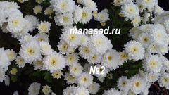 Хризантема мультифлора (шаровидная)  Branbeach White №1