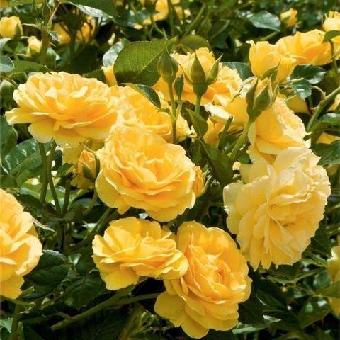 Роза флорибунда Абсолютлей фабулос С6