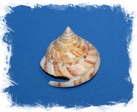 Микадотрохус Хирасе