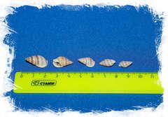 Ракушки Нассариус сцинктус размер