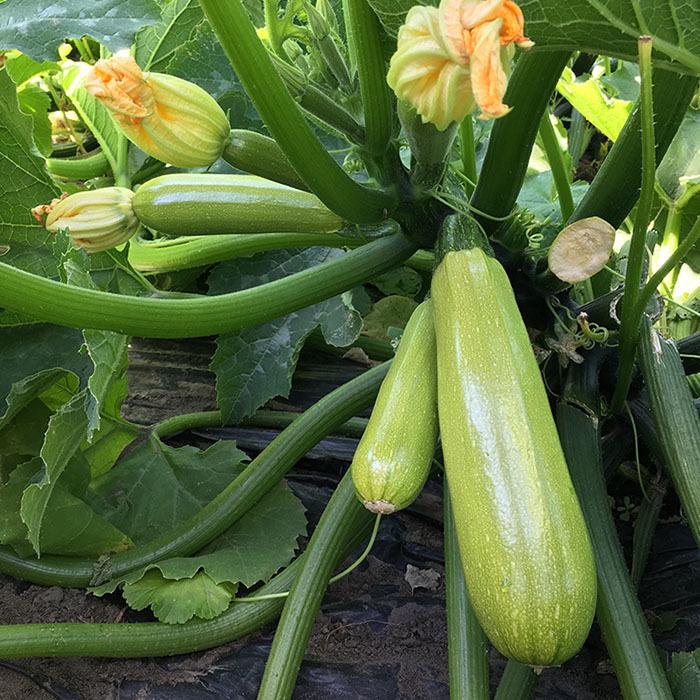 Кабачок Аделия F1 семена кабачка (Enza Zaden / Энза Заден) аделия_1.jpg