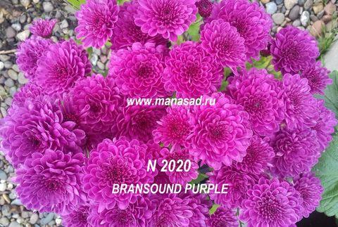 Хризантема мультифлора (шаровидная) Bransound Purple №2020