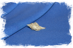 Shell Afer lansbergisi