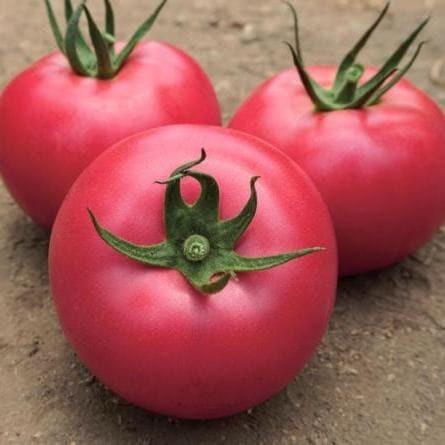 Vilmorin Ланканг F1 семена томата индетерминантного (Vilmorin / Вильморин) Томат_Ланканг.jpg